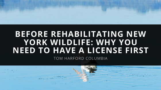 Before Rehabilitating New York Wildlife Expert Tom Harford Explains Why You Need To Have A License First