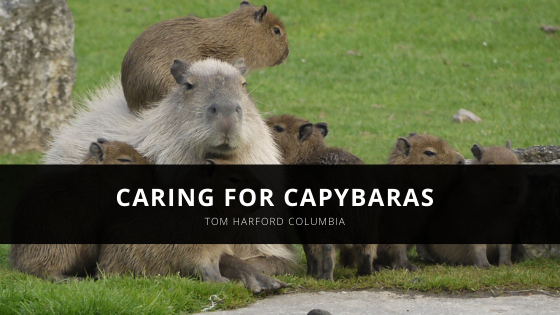 Tom Harford Columbia on Caring for Capybaras